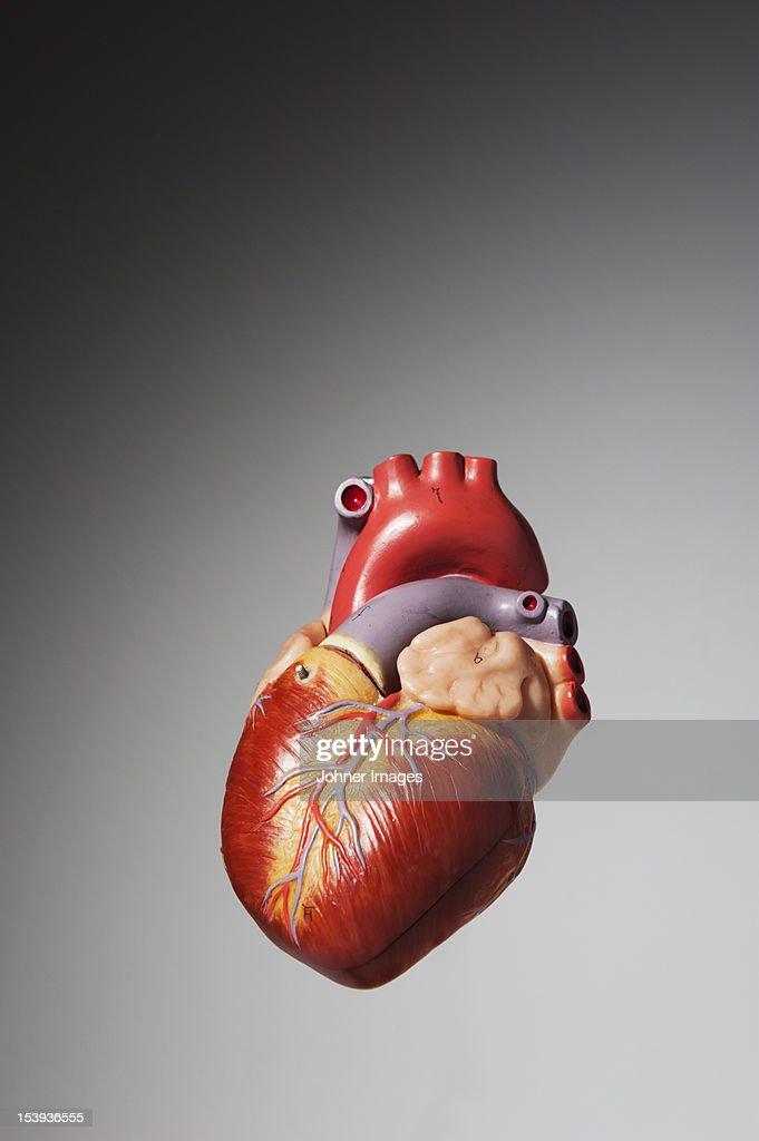 Anatomical model of human heart : Stock Photo