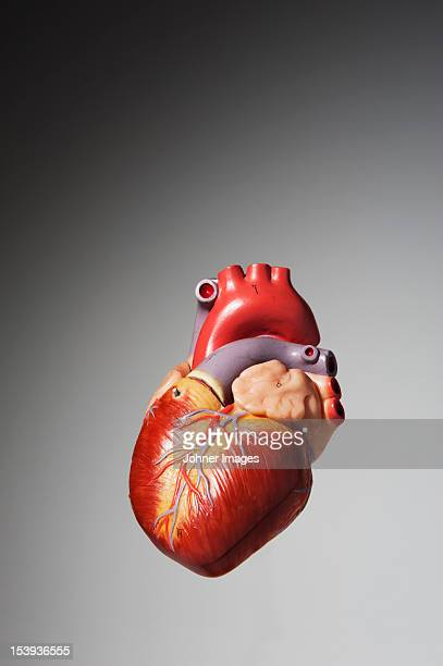 anatomical model of human heart - human heart stock pictures, royalty-free photos & images