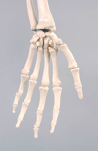 Skeleton, Hand Pictures | Getty Images