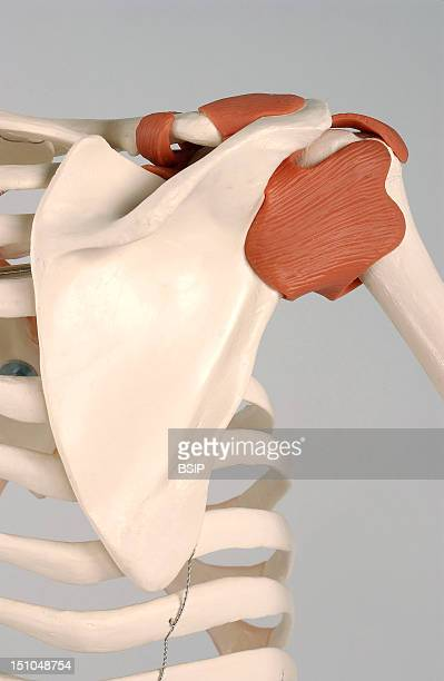 Anatomical Model Of The Shoulder Of An Adult Human Skeleton With Ligaments Anterior View Of The Shoulder Joint The Joint Of The Right Shoulder Is...