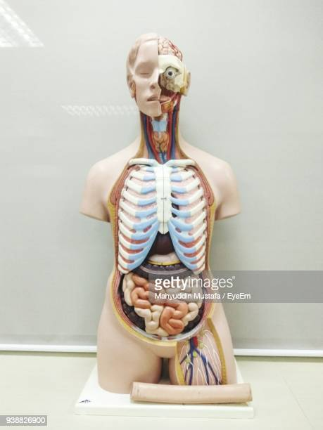 Anatomical Model On Table At Classroom