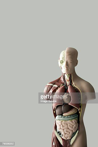 anatomical model - human intestine stock photos and pictures