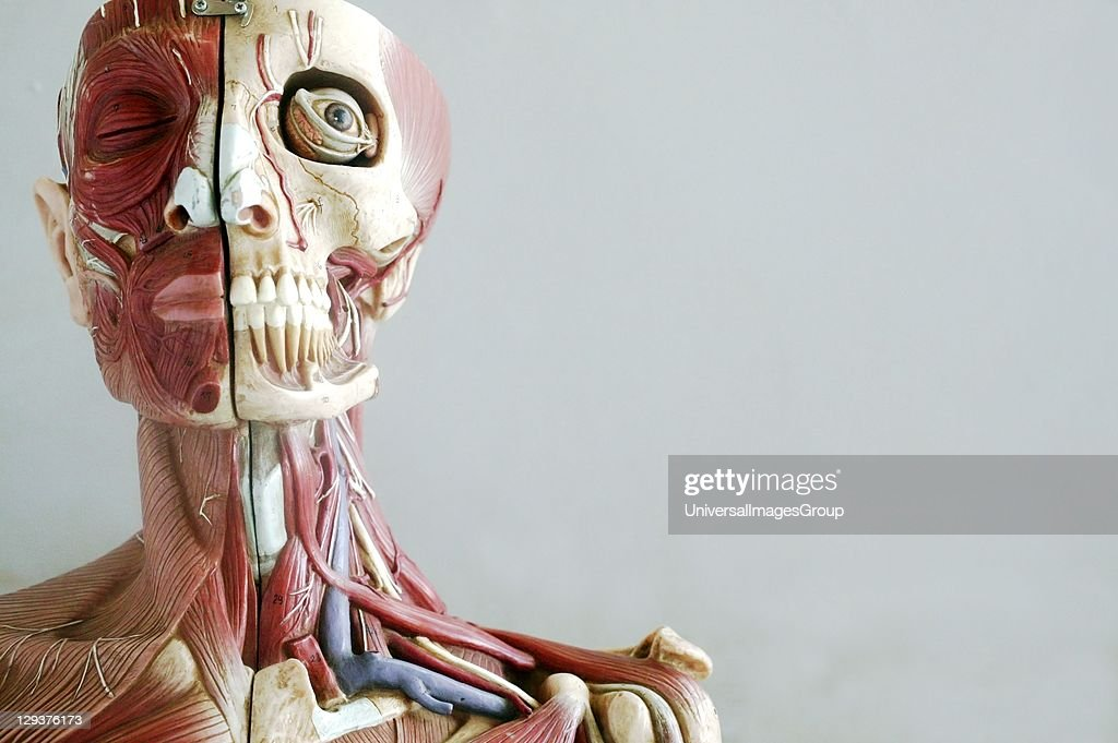 Anatomical model showing muscles and veins of head and neck Pictures ...