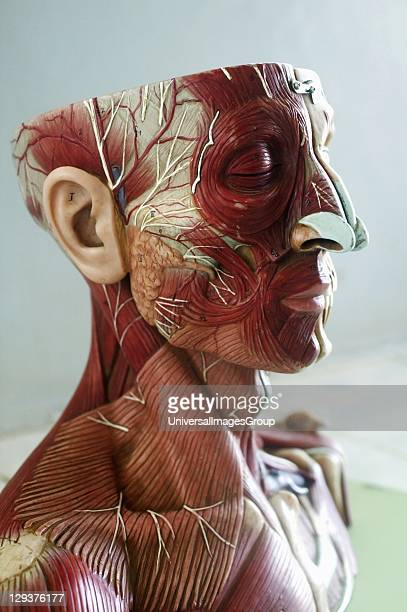 Anatomical model showing muscles and veins of head and neck Anatomical models are commonly used in the teaching of doctors as they are much clearer...