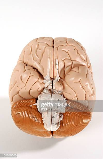 Anatomical Model Showing The Exterior Of The Human Brain Or Encephalon Inferior View The Encephalon Is Composed Of The Diencephalon Covered By The...