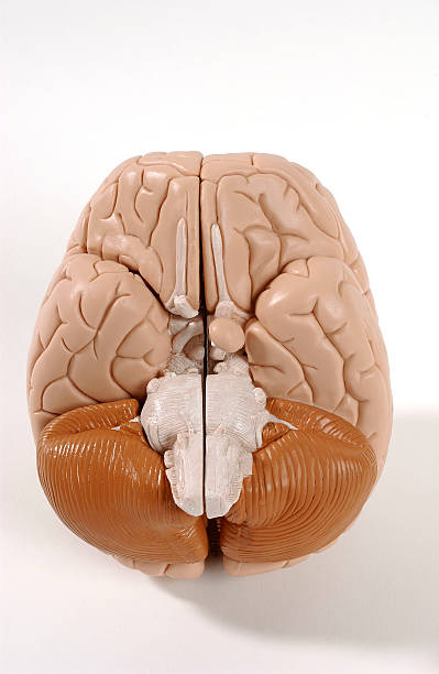 Anatomy of the brain pictures getty images anatomy of the brain ccuart Image collections