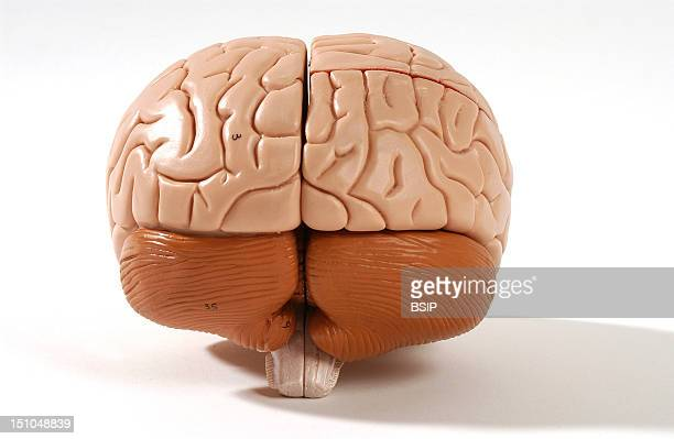 Anatomical Model Showing The Exterior Of The Human Brain Or Encephalon Posterior View The Encephalon Is Composed Of The Diencephalon Covered By The...