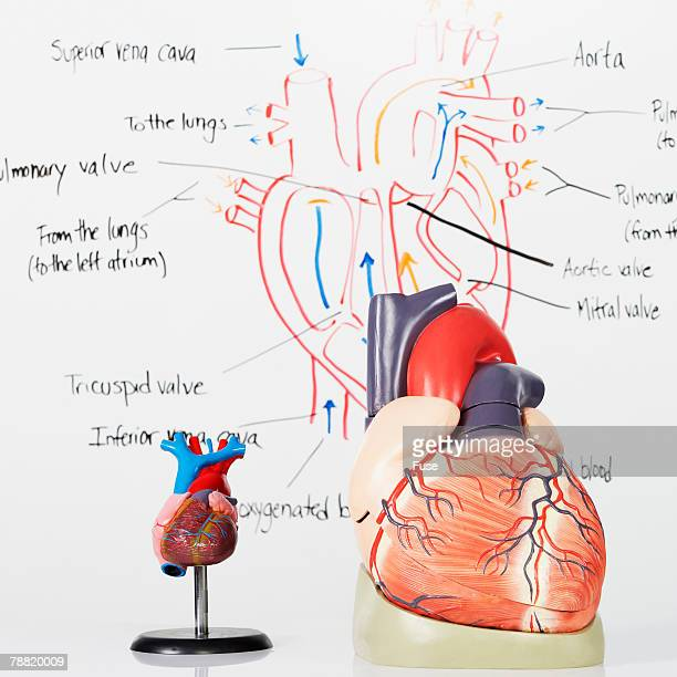 Diagram Of The Heart Stock Photos And Pictures Getty Images