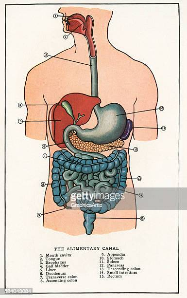 Anatomical print of the human alimentary canal 1912 Screen print