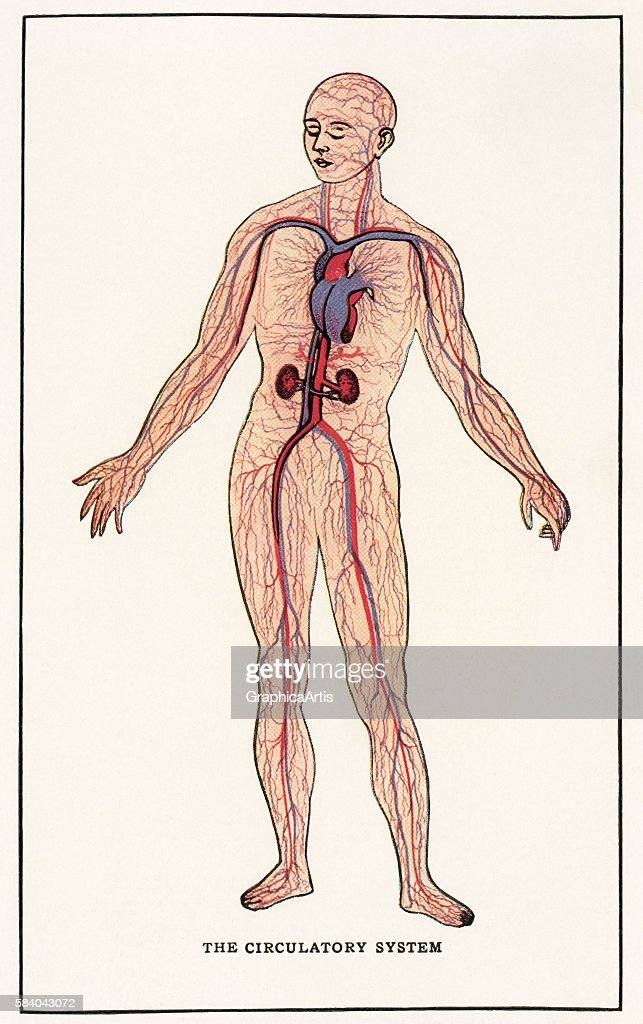 Anatomical Print Of The Human Circulatory System 1912 Screen Print