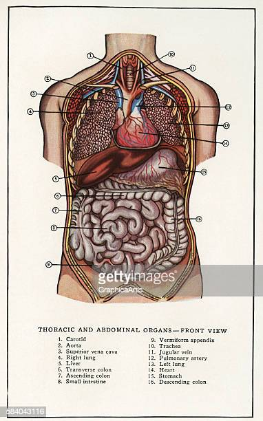 Anatomical print of the human thoracic and abdominal organs 1912 Screen print