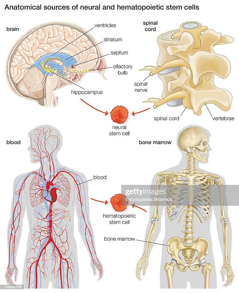 Anatomical Sources Of Neural And Hematopoietic Stem Cells. Pictures ...