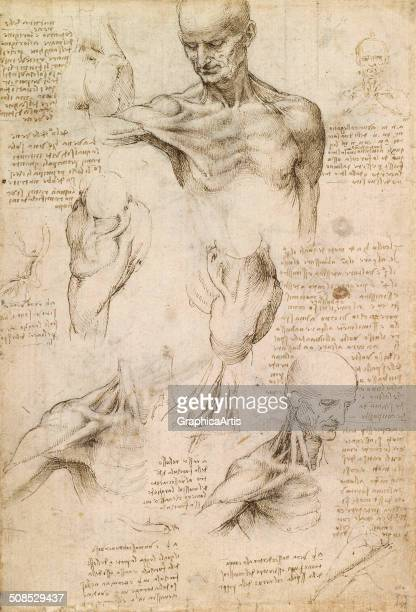 Anatomical studies of a male shoulder by Leonardo da Vinci ink on paper 292 x 198 cm c 1509 From the Royal Collection London