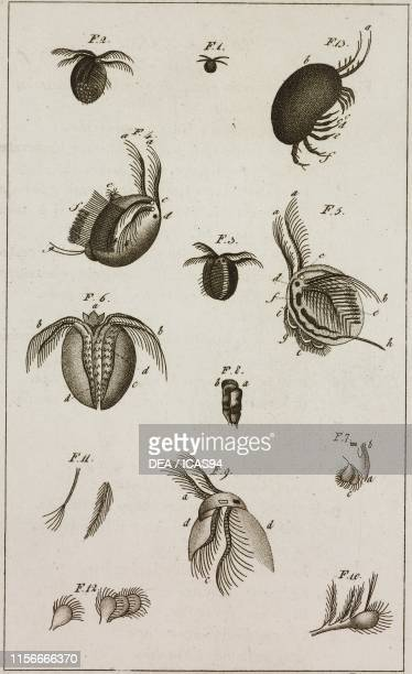 Anatomical study of the Holarctic Clam Shrimp or Common Lynceus , 13) Anatomical study of a Cytherea sp, engraving by Dala, from Le opere di Buffon ,...