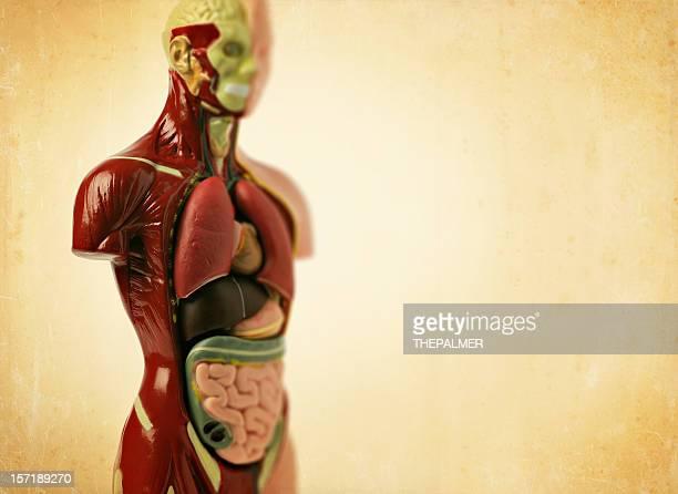 Anatomie-Modell