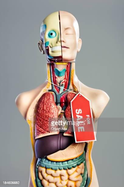 anatomía de modelo - intestino humano fotografías e imágenes de stock