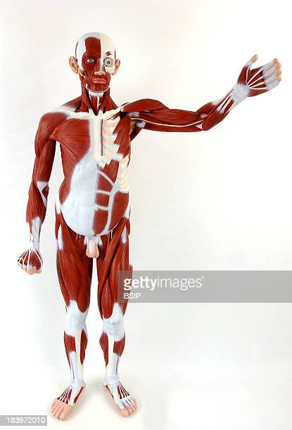 Anatomy Muscle The Muscles The Tendons And Ligaments Are In White The Bones In Beige