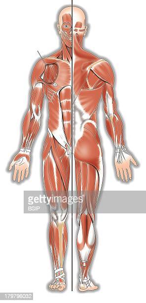 Skeletal Muscle Stock Photos and Pictures | Getty Images