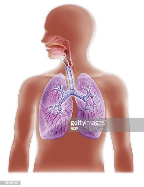 Anatomy Of The Airways Trachea And Lungs With Primary And Secondary Bronchi And Bronchioli In Transparency In The Lungs