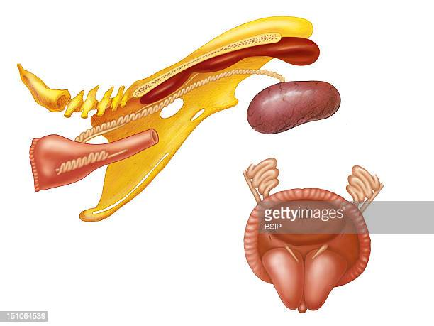 Anatomy Of The Cock Genital Apparatus
