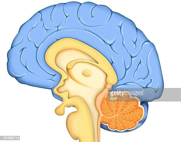 Anatomy Of The Encephalon Median Section With The Cerebral Cortex In Blue The Diencephalon And The Pituitary Gland In Yellow The Cerebellum In Orange...