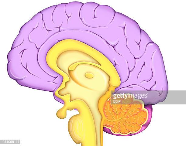 Anatomy Of The Encephalon Median Section With The Cerebral Cortex In Purple The Diencephalon And The Pituitary Gland In Yellow The Cervelet In Orange...