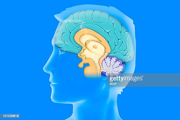 Anatomy Of The Encephalon Mediane Cutaway View With The Cerebral Cortex In Light Blue The Diencehalon And Hypophysis In Yellow The Cerebellum In Dark...