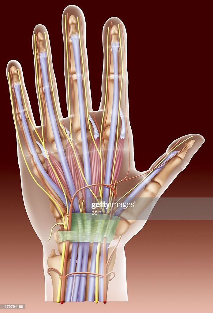 Anatomy Of The Hand Pictures Getty Images