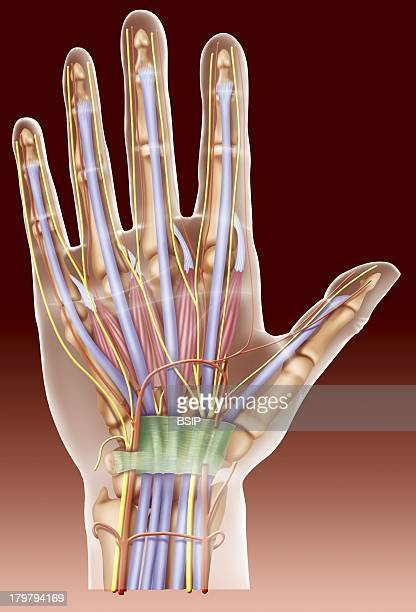 Anatomy Of The Hand Palmar Surface Of The Hand Showing The Carpal Tunnel Terminating In The Anterior Annular Ligament Containing The Median Nerve The...