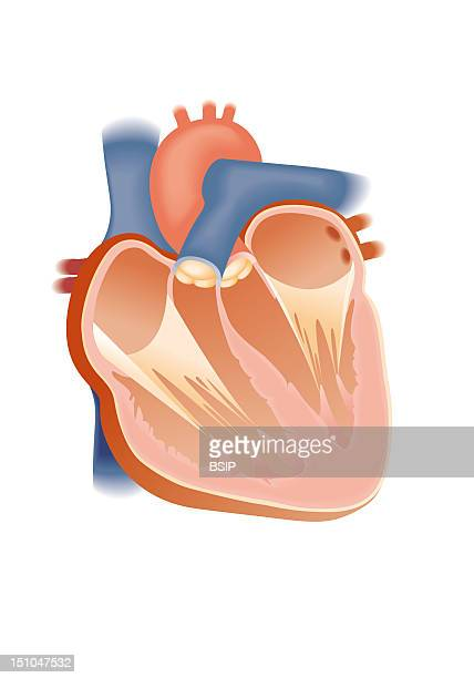 Anatomy Of The Heart Anterior View Of A Frontal Cut Away View The Heart Is Composed Of Four Cavities The Atria In Its Superior Part And The...