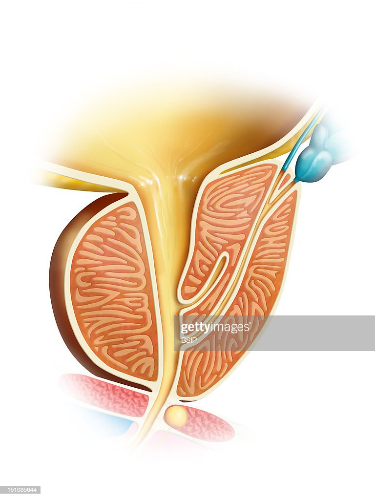Prostate Drawing Pictures Getty Images