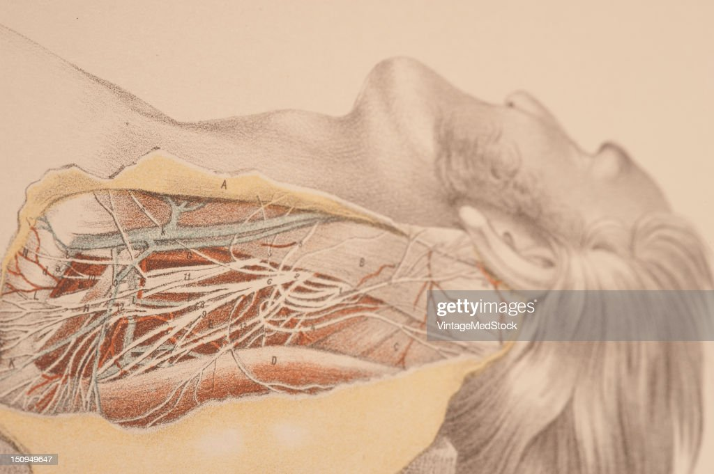Anatomy Of The Side Of The Neck Behind The Sterno Mastoid Muscle