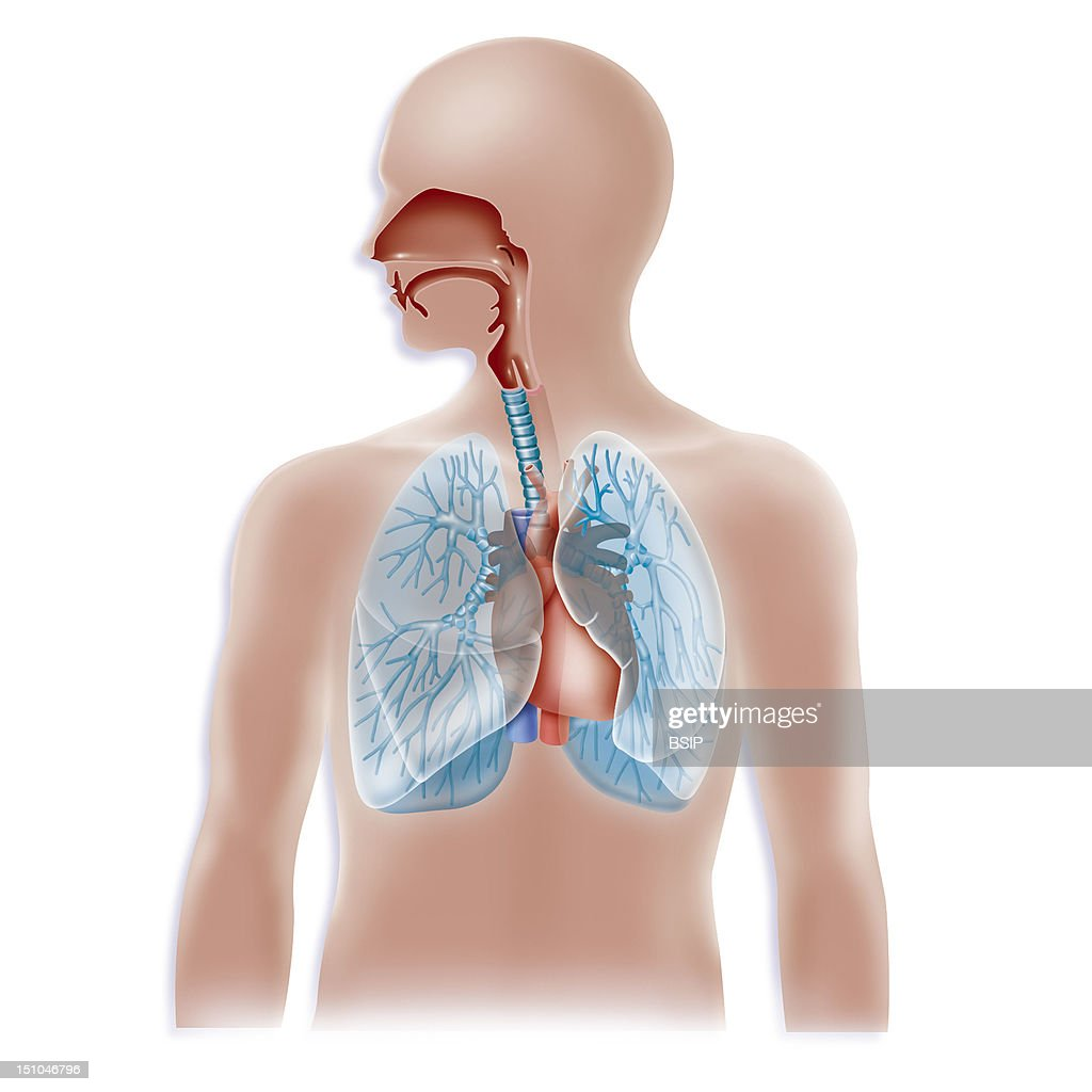 Anatomy Of The Trachea And The Lungs And Relations With The Heart