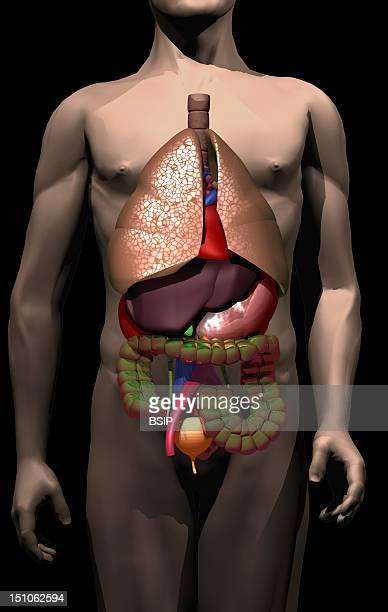 Anatomy Of The Trunk With Lungs Heart Liver Gall Bladder Stomach Colon And Bladder