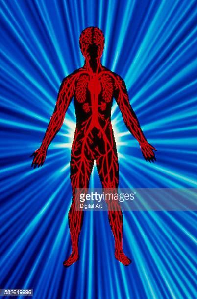 anatomy - human internal organ stock pictures, royalty-free photos & images