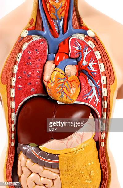 Anatomy Trunk Gular Veins And Common Carotid Arteries And Thorax Subclavian Artery And Vein Towards The Clavicles Pulmonary Arteries In Blue And...