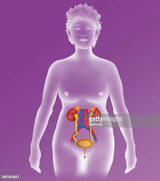 anatomy, urinary tract - urethra stock pictures, royalty-free photos & images