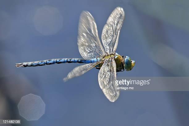 anax imperator - dragonfly stock-fotos und bilder