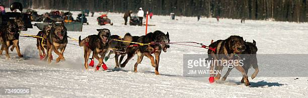 2004 Iditarod Champion Mitch Seavey's sled dog team mushes over frozen Willow Lake as Iditarod XXXV official begins 04 March 2007 in Willow Alaska...