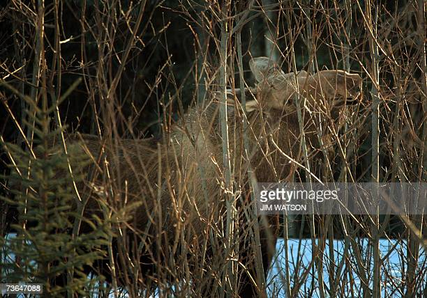 A moose nibbles on branches in the brush off the highway heading towards Anchorage Alaska 02 March 2007 tracks a moose on a neighborhood trail in...