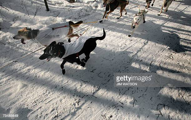 A sled dog team heads down the trail outside of Anchorage Alaska to their first checkpoint in Eagle River 03 March 2007 at the beginning of Iditarod...