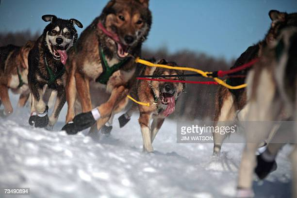 Ed Iten's sled dog team mushes over frozen Willow Lake as Iditarod XXXV official begins 04 March 2007 in Willow Alaska Top mushers in the world are...