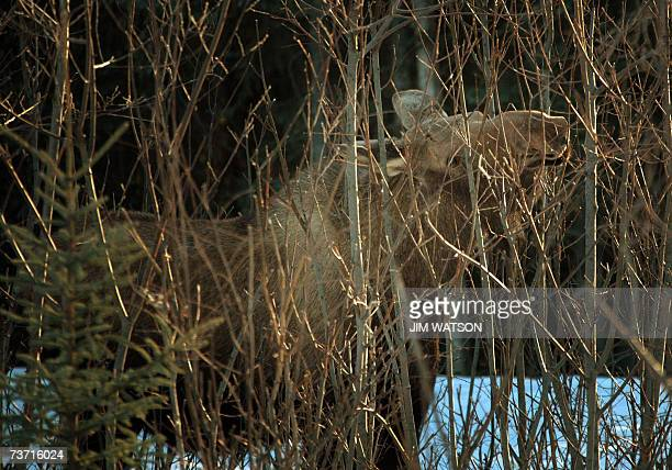 TO GO WITH AFP STORY by MIRA OBERMAN FILES A moose nibbles on branches in the brush off the highway heading towards Anchorage Alaska 02 March 2007...