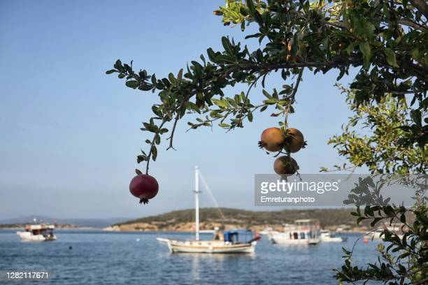 anchored boats behind pomegranate tree at ildir bay - emreturanphoto stock pictures, royalty-free photos & images