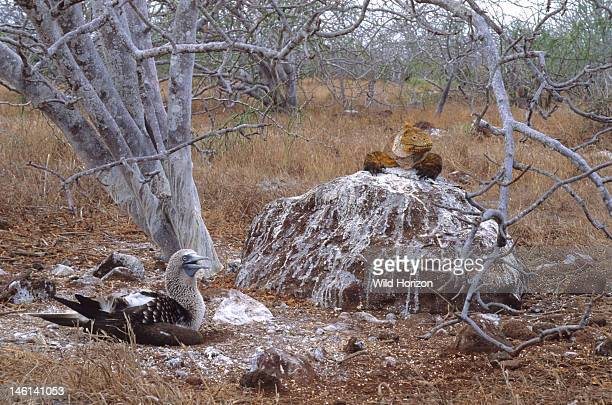 Ancient and enormous male Galapagos land iguana basking on a rock above a nesting bluefooted booby bird Conolophus subcristatus Sula nebouxii This...