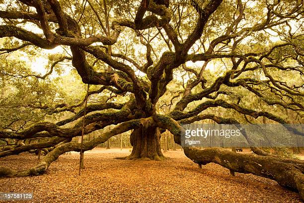 Antica Angel Oak vicino a Charleston