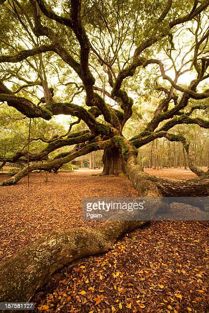 Ancient Angel Oak near Charleston