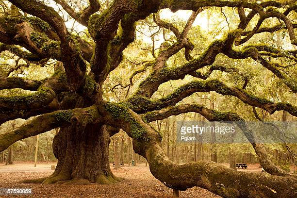 antiga angel oak perto de charleston - permanente - fotografias e filmes do acervo