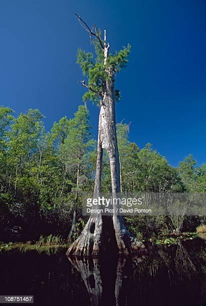 ancient bald cypress (taxodium distichum) with hollow trunk - bald cypress tree foto e immagini stock