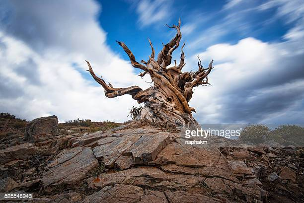 ancient bristlecone pine forest - ancient stock pictures, royalty-free photos & images